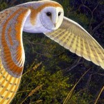 Beautiful Flying Barn Owl