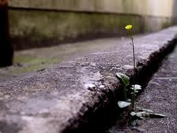Dandelion Flower Growing out of Street Curb