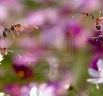 Honeybees on Flowers