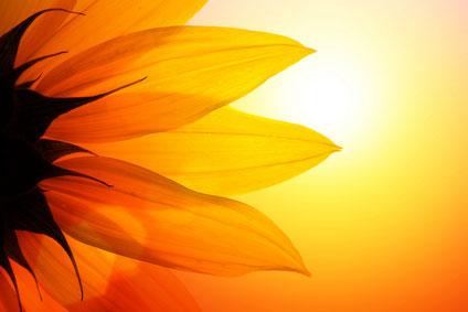 Sunshine Yellow Flower